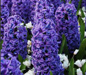Hyacinth Absolute