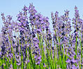 Lavender angustifolia, French (Medicinal Quality)